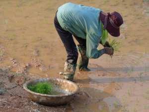 Vietnam Reisanbau